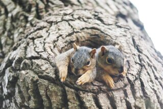 Baby Squirrels in their Nest