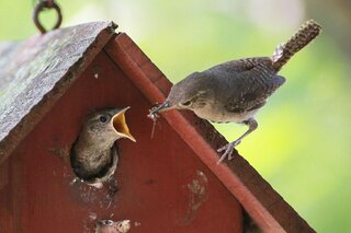 Mother Wren feeding her baby