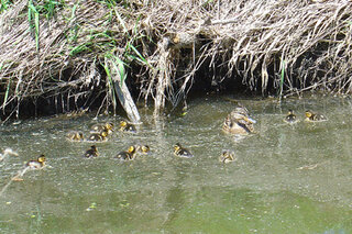 Mallard hen with her brood