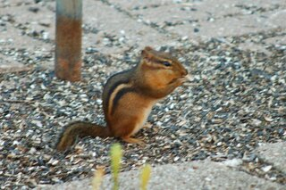 one several hungry chipmunks