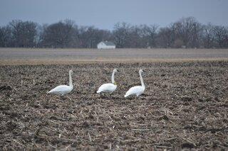 Trumpeter Swans in Central Illinois