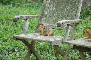 squirrel likes chair
