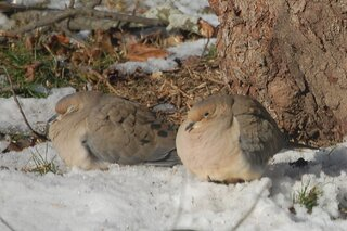 A PAIR OF DOVES IN SNOW