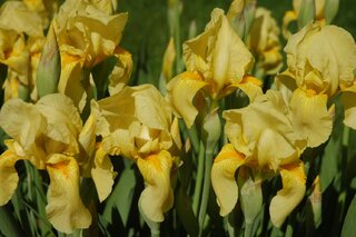Bright Yellow Iris makes quite a show