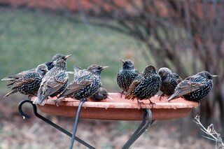 pesky starlings take over birdbath