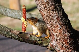 Squirrel ready to eat corn on the cob