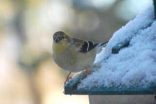 canary in snow