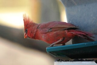 Cardinal ready to fly.