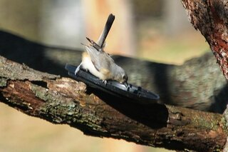 Titmouse drinking from a  coffee can lid