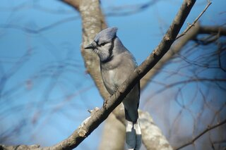 Bluejay in a Redbud tree