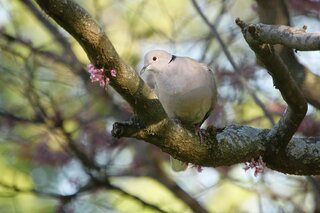 Ringed Turtle Dove in a redbud tree