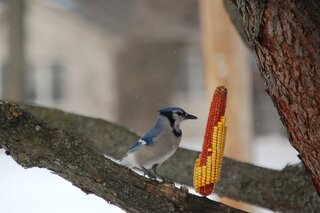 Bluejay with a corn kernel in its peak
