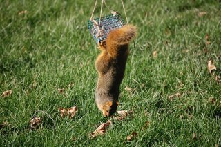 Squirrel raiding a suet feeder