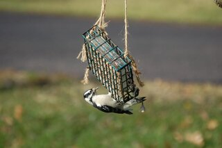 Downy woodpecker eating Suet