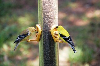 A pair of American Goldfinches