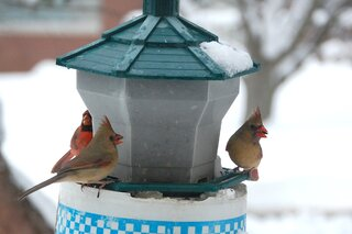 THREE CARDINAL SHARING A FEEDER