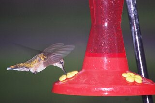 Hummingbird feeding in the rain