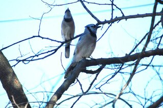 A pair of bluejays