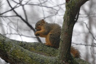 Wet Squirrel having lunch