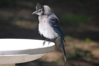 A wet bluejay
