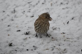 A finch in the snow