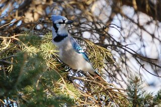 Bluejay in a pine tree