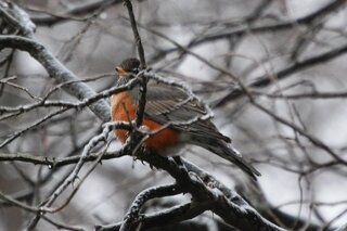 Robin in a snowy tree