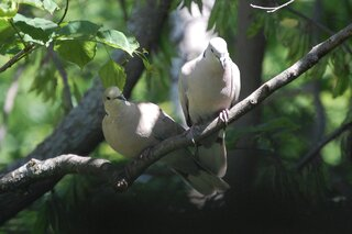 A pair of RingedTurtleDoves