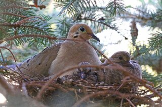 Mother Dove And Young Ones