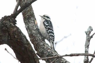 Downy Woodpecker On A Cold Day!