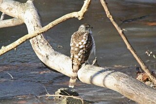 Hawk Sunning Himself On Creek Log