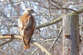 Hawk Enjoying the Sun!