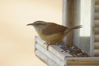 Carolina Wren stopping by for a snack!