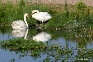 Swans At Banner Marsh