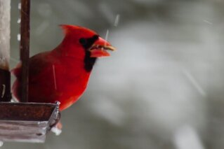 Cardinal Dining in the Snow