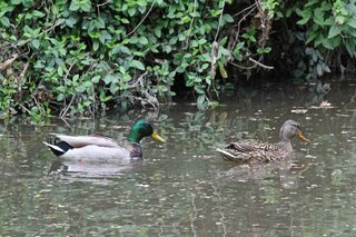 Mallards In Dry Run Creek, Peoria IL.