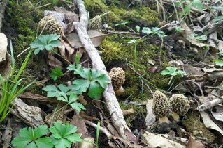 Morels are up!