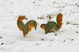 Squirrels Playing In The Snow