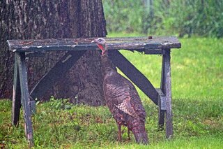 Turkey Looking For Dinner!