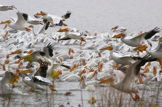 White Pelicans feeding on the river