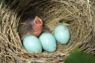 4 Baby Wren eggs are crackin!