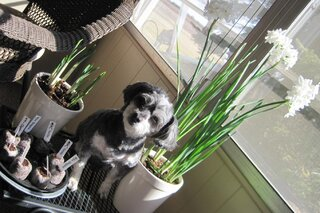 Miss Josie, sun and the Paperwhites!