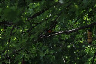 orioles are beautiful birds!