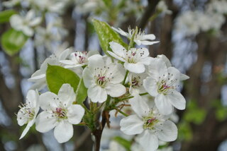 Spring Beauty (Flowering Pear)