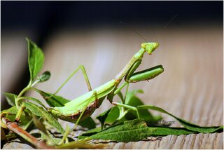 Signs of Autumn, A Praying Mantis