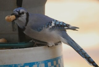 BLUEJAY GRABS A PEANUT