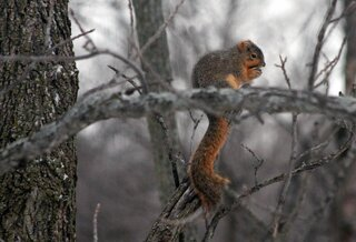 Snow Brings Squirrels out in Eureka