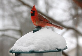 Cardinal on a snowcovetred feeder