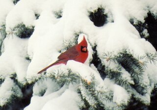 A cardinal in a snowy pine tree