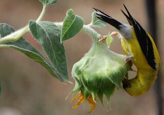 American Goldfinch on a sunflower